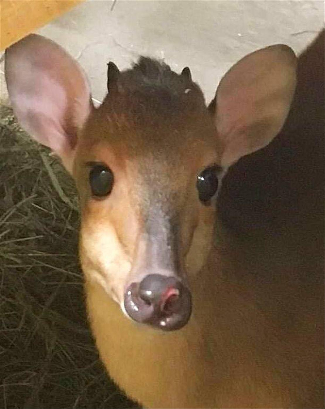 Nový samec chocholatky červené v Safari parku.
