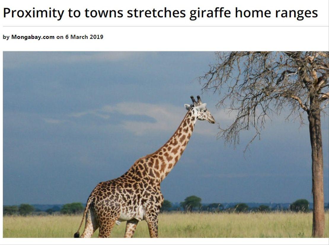 Život žiraf v okolí měst