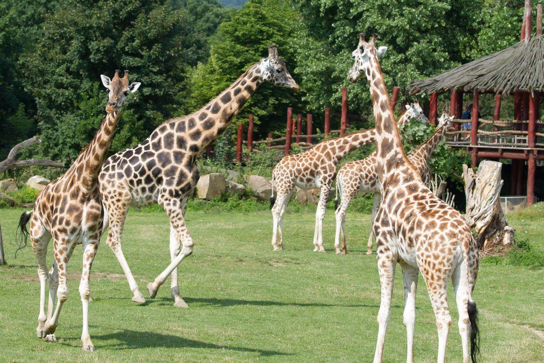Nový samec žirafy Rothschildovy Bořek přicestoval do Safari Parku ve Dvoře Králové