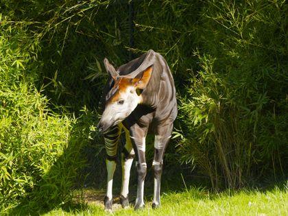 Okapi (Okapia johnstoni) Conservation Strategy and Status Review