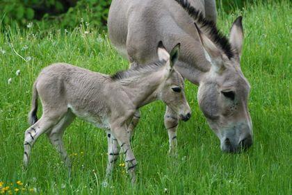 Narození osla somálského v Safari Parku ve Dvoře Králové