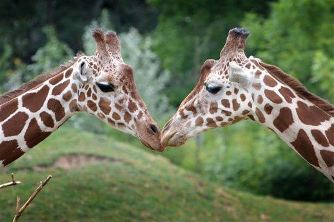 Program zasedání komise pro žirafy