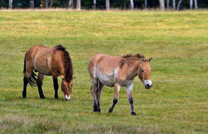 Osamělý hřebec koně Převalského v Chomutově má společnost - hříbě z Liberce