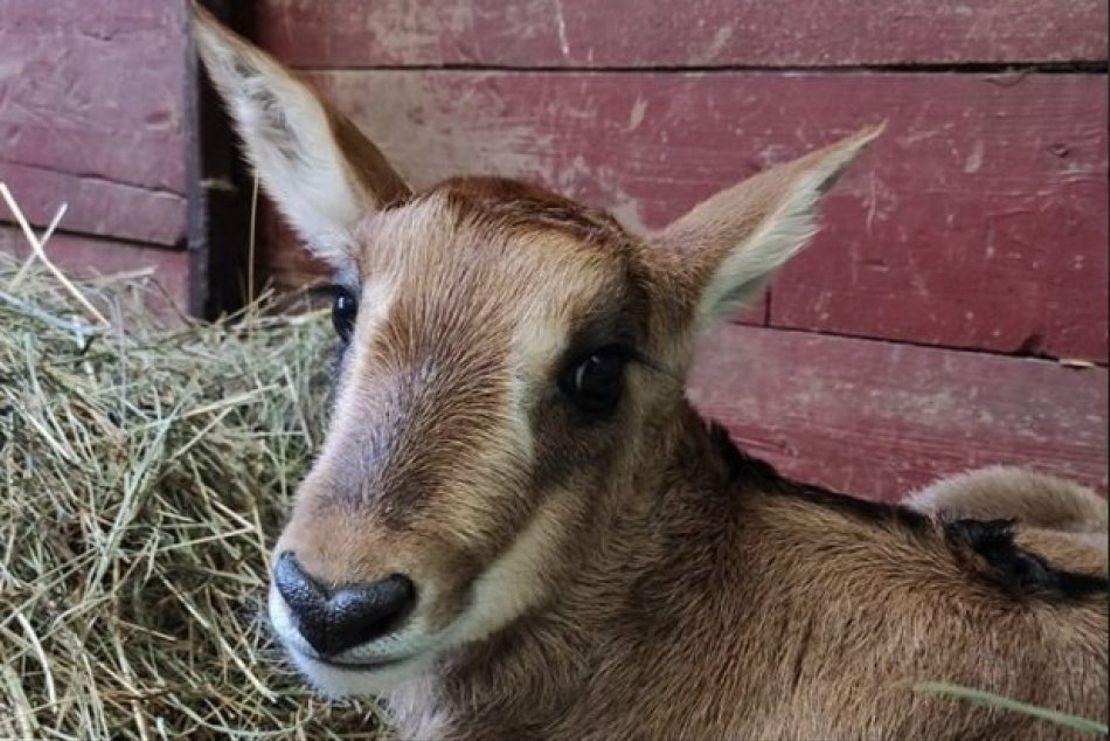 V Bojnicích se narodilo mládě antilopy vrané
