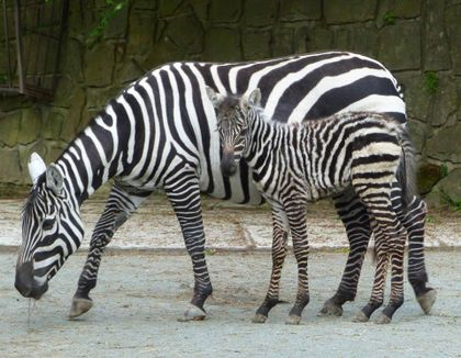 Narození mláděte zebry bezhřívé v Safariparku ve Dvoře králové