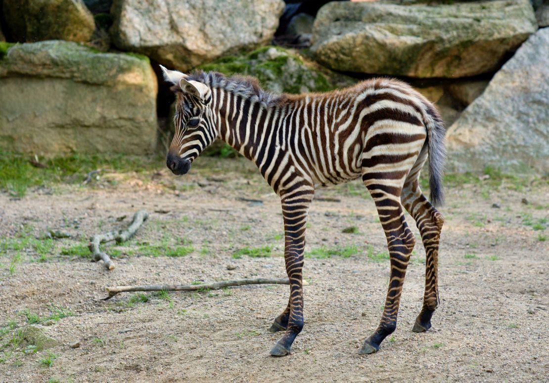 V Liberci se po třech letech narodila bezhřívá zebra