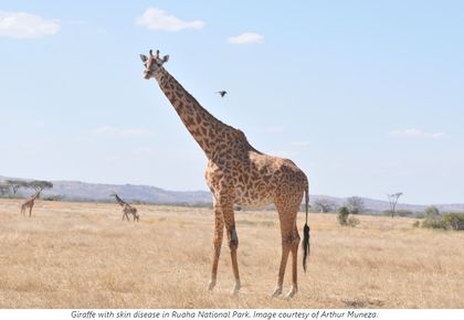 Can camera traps diagnose the severity of a mystery giraffe skin disease?