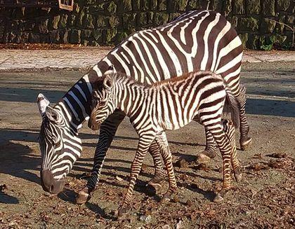 Narození zebry bezhřívé v Safariparku ve Dvoře Králové