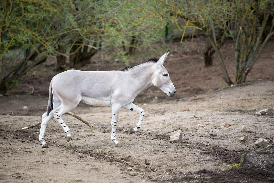 Liberec má nového plemenného hřebce osla somálského