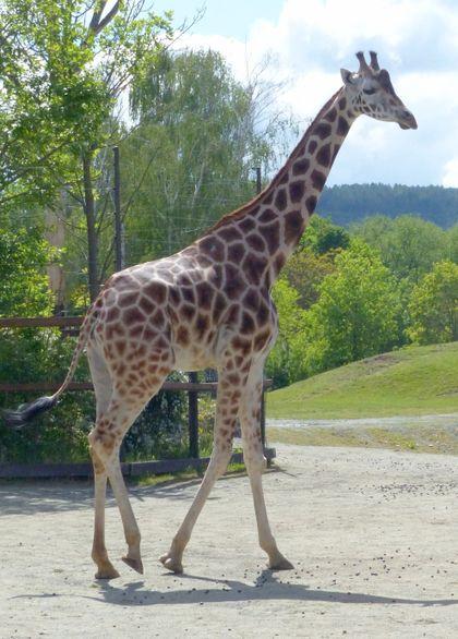 Zoo Dvůr Králové a Zoo Liberec si vyměnily žirafy