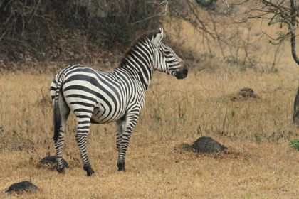 Stratia stepné zebry svoju identitu?