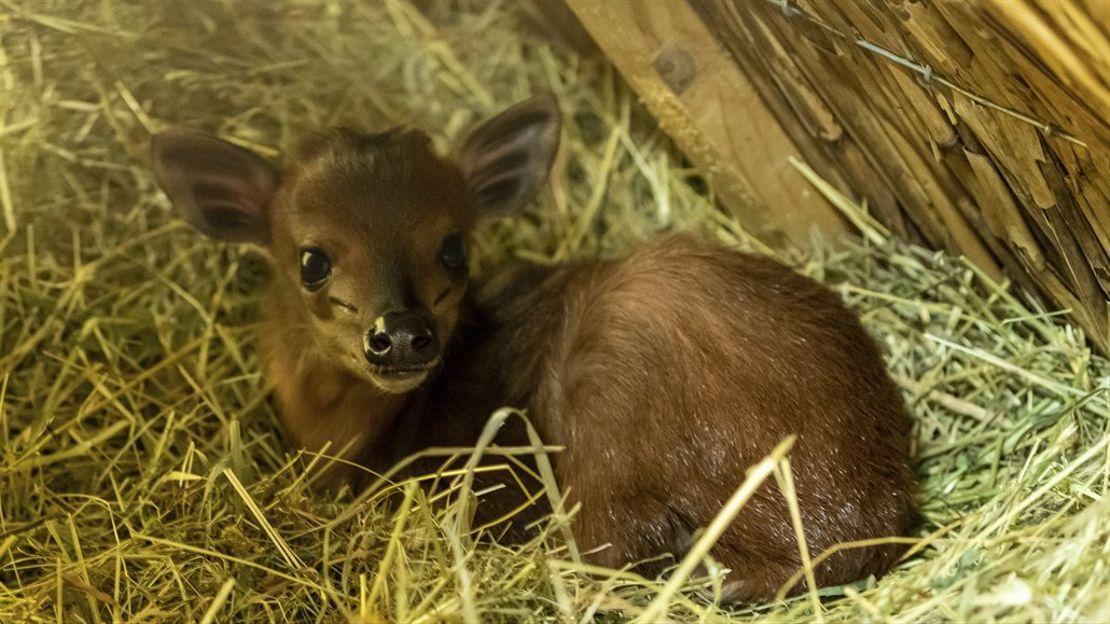 Narození chocholatky červené v Safari Parku ve Dvoře Králové