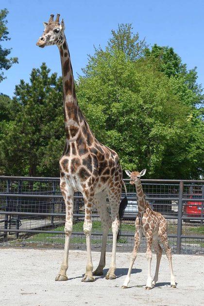 Žirafy v olomoucké zoo mají nový přírůstek, malou Sarifu