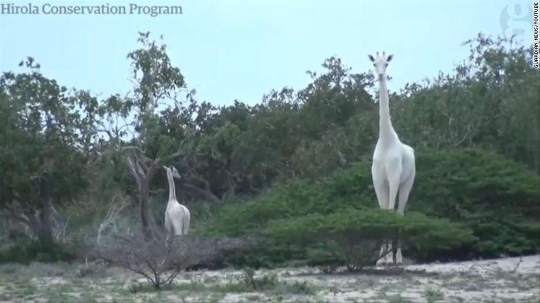 Dvě z tří bílých žiraf v keňském Ishaqbini zabity pytláky