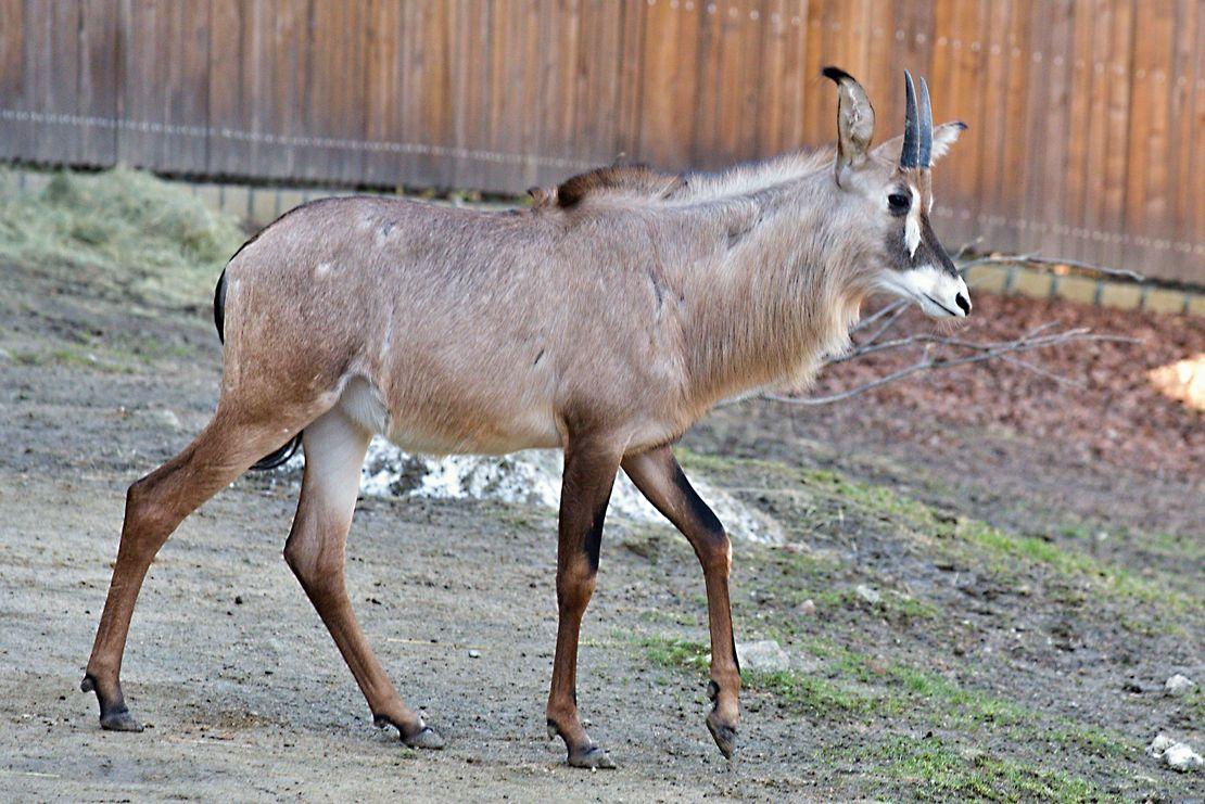 Mladá samice antilopy koňské posílila liberecký chov