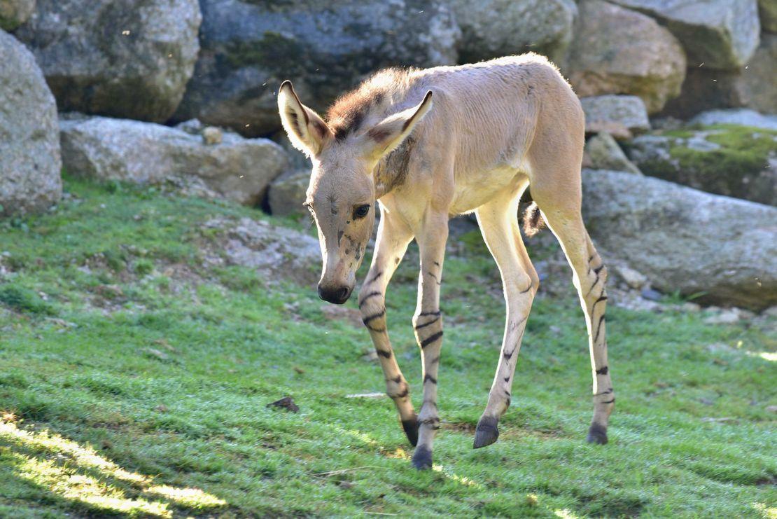 Druhá klisna osla somálského po hřebci z Izraele