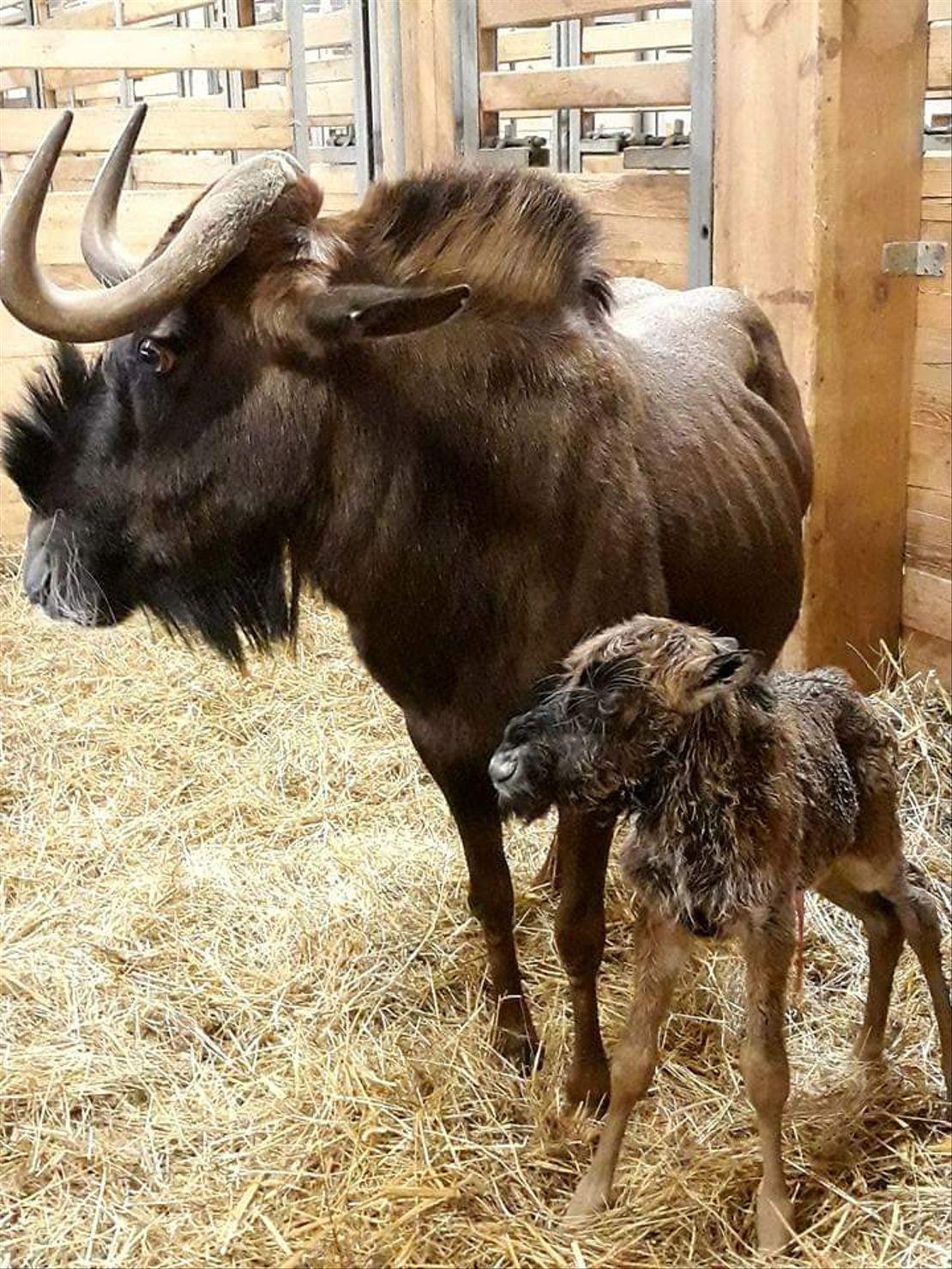 Nový přírůstek ve stádě pakoní běloocasých v Safariparku ve Dvoře Králové.