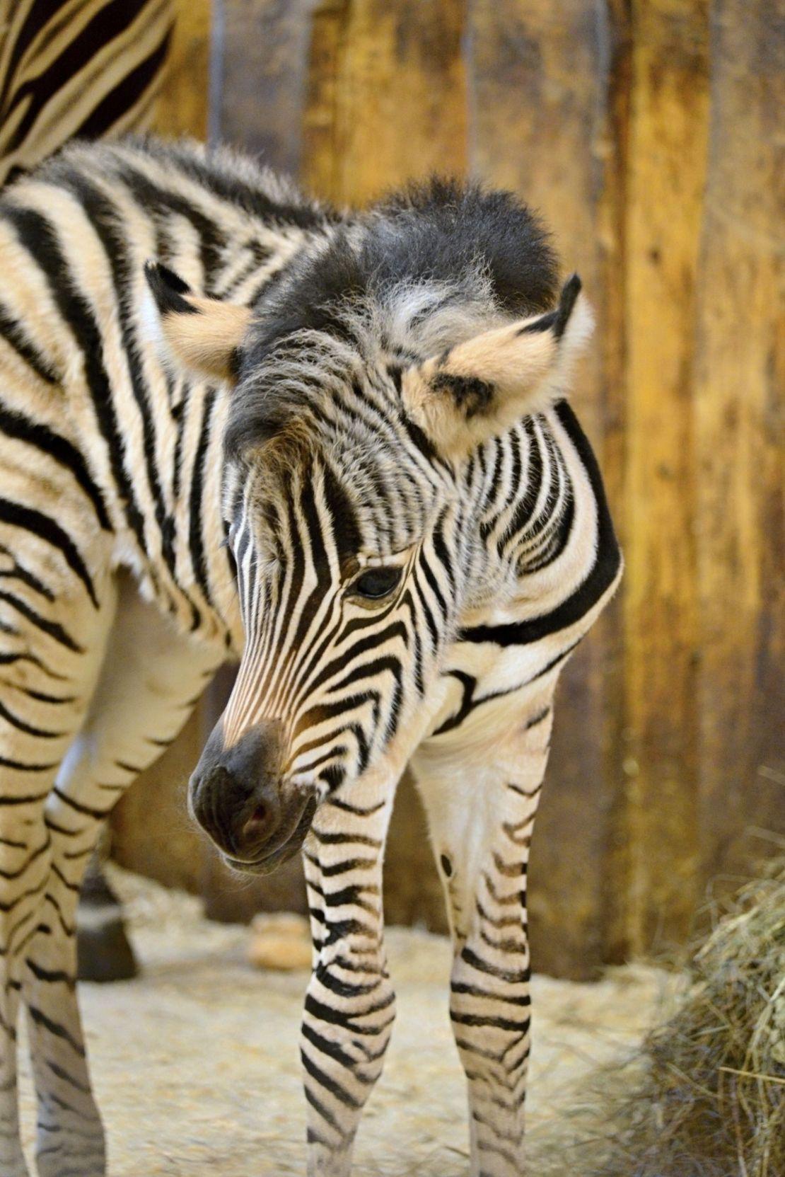 Zebra, co se narodila se stříbrnou lžičkou v hubě