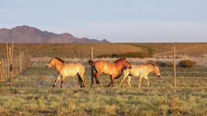 Další transport koní Převalského do Mongolska v režii Zoo Praha