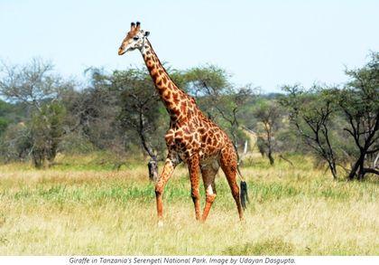 Zajímavé komentáře a informace k článku o výskytu žiraf