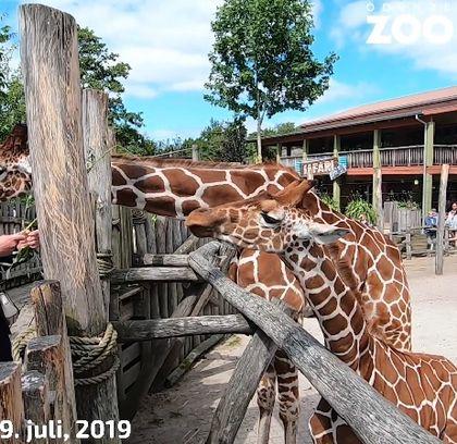 Příslib nových chovných samců žiraf síťovaných pro Zoo Brno a Safari Park Dvůr Králové.