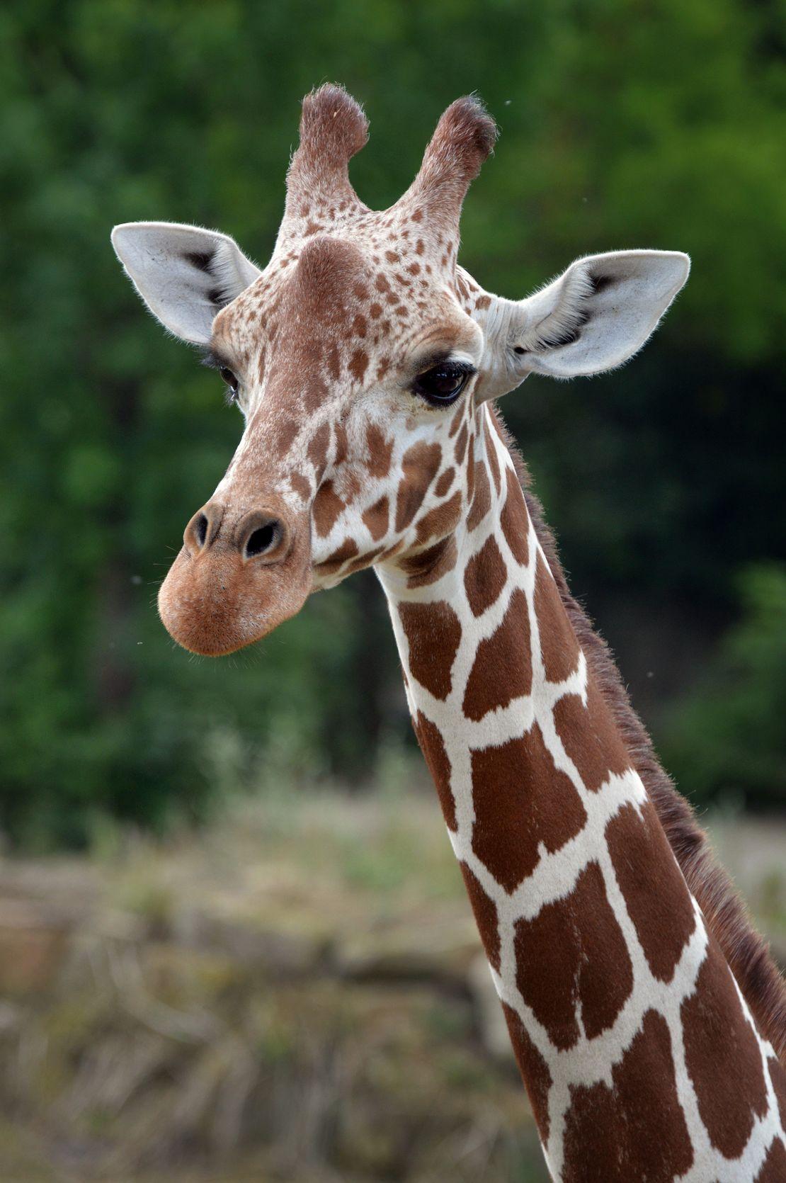 Regionální, historické, České a Slovenské plemenné knihy žiraf Rothschildových a žiraf síťovaných.