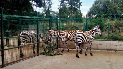 Zebry bezhřívé z Borysewa zpátky v chovném programu