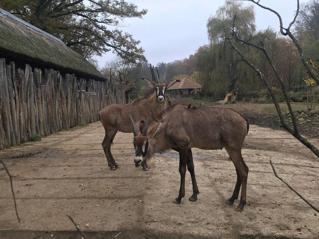 Skupinka samců antilopy koňské v Lešné už čítá čtyři jedince
