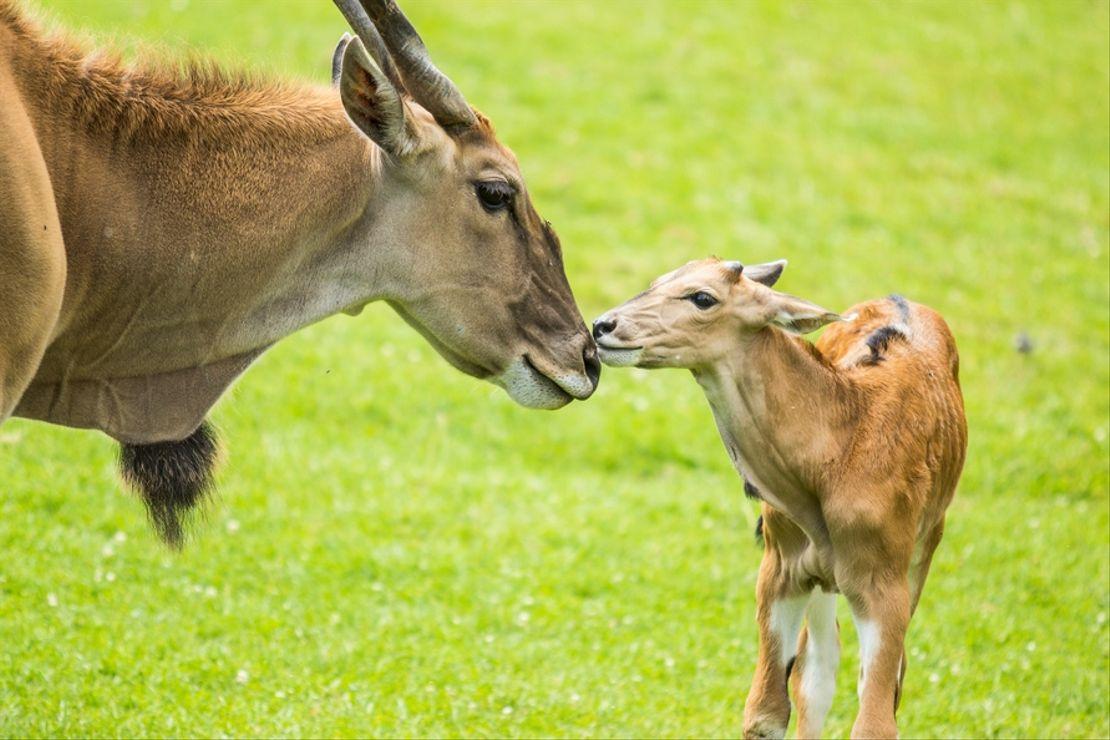 Nadílka mláďat antilopy losí v Zoo Ostrava