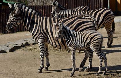 Další modrooká zebra v Liberci