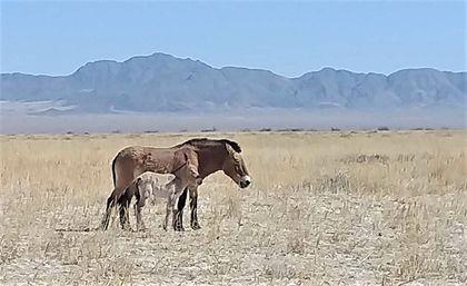 První letošní hříbě koně Převalského v Great Gobi B