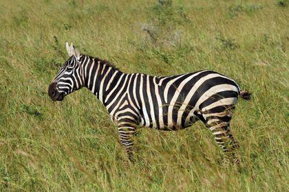 Zebra, která postupně ztrácí hřívu i životní prostor