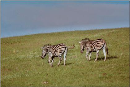 Výzva chovatelům zebry Chapmanovy