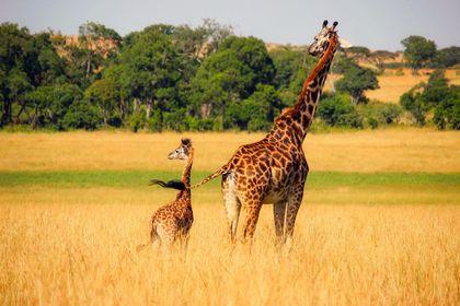 Nová Evropská plemenná kniha žiraf a také dlouhodobý plán chovu žiraf
