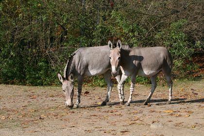 Plemenná kniha osla somálského (Equus africanus somaliensis) publikována