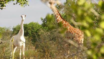 Bílá žirafa v Ishaqbini